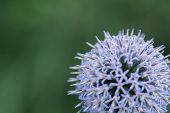 picture of backround  - globe thistle at a green backround closeup  - JPG
