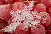 foto of ice crystal  - Background from many frozen currants covered with ice crystals - JPG