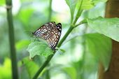 stock photo of mating  - Blue Spotted Milkweed butterflies mating - JPG