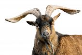 stock photo of billy goat  - Goat with impressive horns and brown fur looking into the camera isolated on white background - JPG