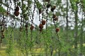 foto of pine cone  - A branch of the larch pine cones - JPG