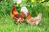 stock photo of roosters  - Red rooster and hen in green grass - JPG