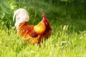 image of roosters  - Red rooster in green grass - JPG