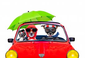 foto of married  - couple of jack russell just married dogs driving a car for summer vacation holidays or honeymoon isolated on white background wife taking a selfie for friends - JPG