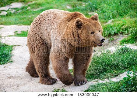 Brown bear from Carpathian Mountains Brasov Romania