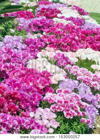 Petunia flower in park of Ramat Gan Israel April 16 2005