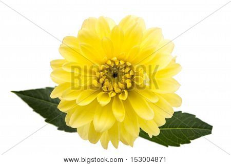 beautiful dahlia beautiful flower on white background