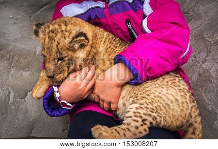 lion cub child keep on hand and stroked.