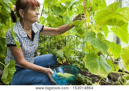 Elderly woman collects harvest in the greenhouse
