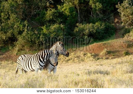 A Zebra Giving A Good Rub Against The Other