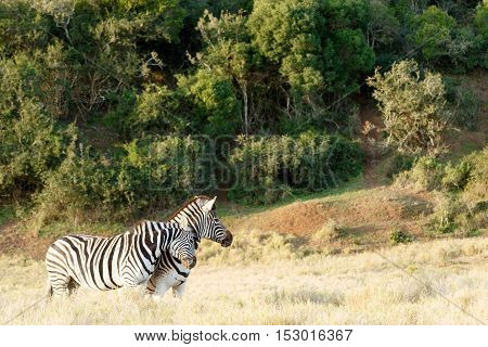 Two Zebra Rubbing Some Love On Each Other