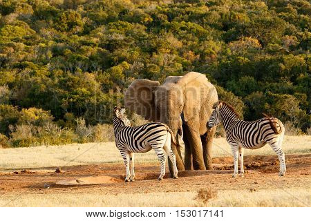 Elephant And Zebra Standing At The Empty Water Hole