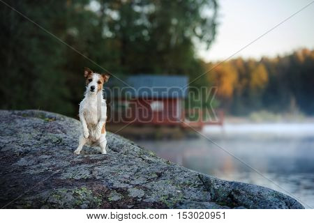 Dog Jack Russell Terrier shore of the lake in early morning