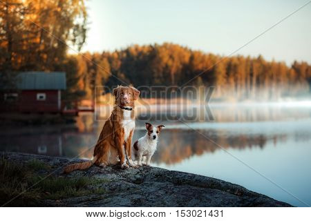 Dog Nova Scotia Duck Tolling Retriever and Jack Russell Terrier shore of the lake in early morning