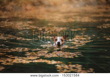 Dog Jack Russell Terrier bathed in the lake