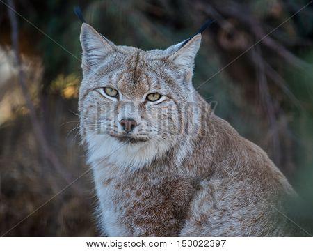 Eurasian lynx staring straight ahead close up