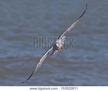 Ring-billed Gull In Flight - Ontario, Canada