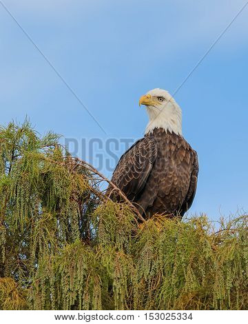 An american bald eagle sitting in a tree