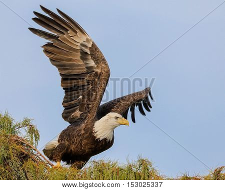 American bald eagle flying high from a tree