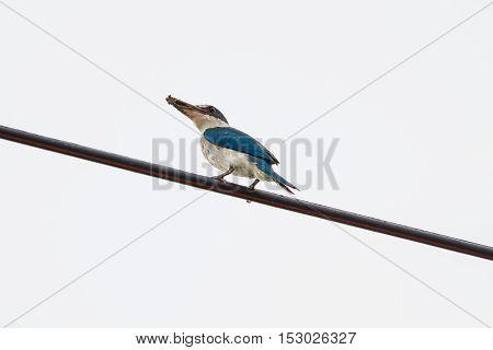 Collared Kingfisher (todiramphus Sanctus)