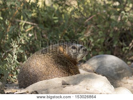 Profile of yellow-bellied marmot on rocks with scrubs