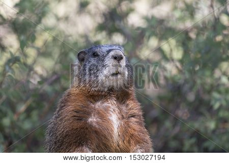 Yellow-bellied marmot portrait of head and chest