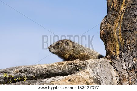 Yellow-bellied marmot in decayed tree with blue sky