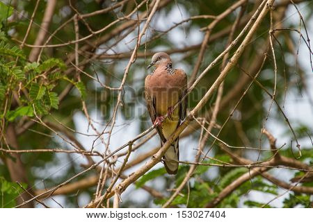 Spotted Dove On A Branch