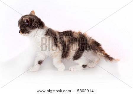 Kitten Selkirk Rex tricolor light gray background in Studio cute pet for family and children the cat walks