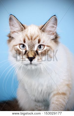 young beautiful cat breed Neva masquerade on a blue background in the Studio a good pet for the family closeup portrait