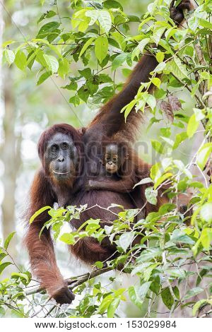 Mother & baby orang-utan in their native habitat. Rainforest of Borneo.