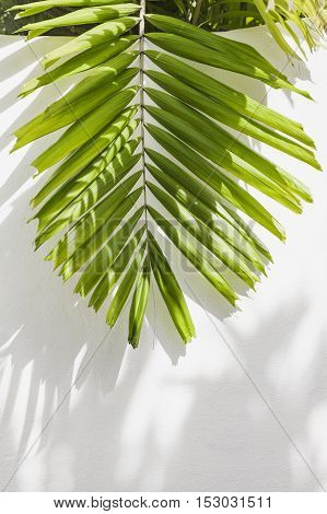 Leaves of palm tree on wall white background.