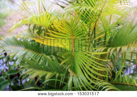 Leaves of palm tree in garden sun light