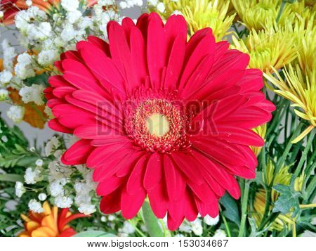 Large red daisy in Thornhill Canada October 23 2016