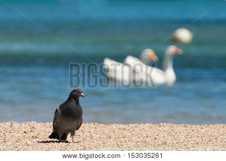 Pigeon against two swans at Porto Rafti in Greece.