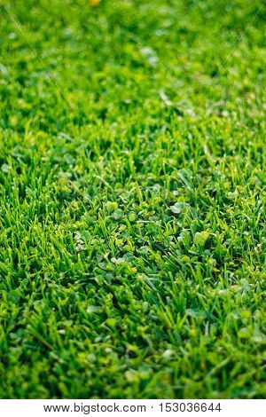 The Green Cropped Lawn Grass