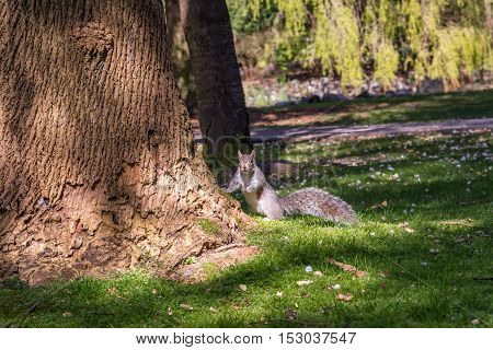 Animals in wildlife. Amazing picture of beautiful squirrel Picture of squirrel standing near a high tree on the grass