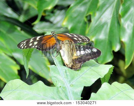 Hypolimnas misippus butterflies in garden of Niagara Falls Canada July 16 2016
