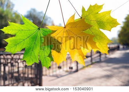 Green and yellow maple leaves in the morning. Golden autumn in a park. Almaty Kazakhstan - October 13 2016.