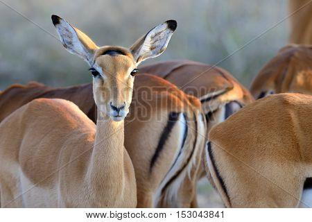 Thomson's Gazelle On Savanna In Africa