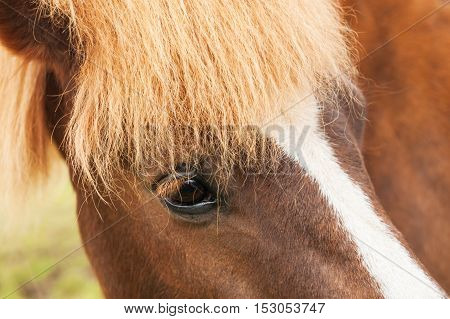 Close-up portrait of the brown icelandic horse.