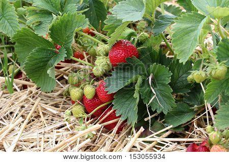 Berry season / Strawberries ripening in the fields