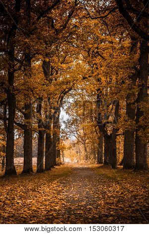 Parkway of oak trees in beautiful autumn color yellow and orange.