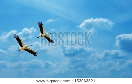 Beautiful white storks against soft blue sky panoramic view