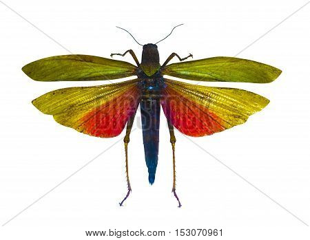 insect locust isolated on white background natural