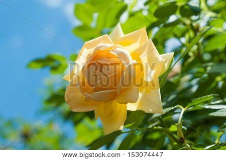 Beautiful yellow rose flower in a garden close up