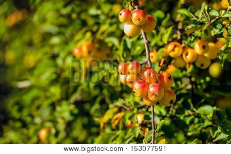Closeup of red and orange crab apples growing on the branch of a large tree on a sunny day in the fall season.
