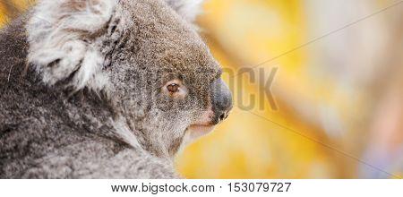 Koala By Itself In A Tree