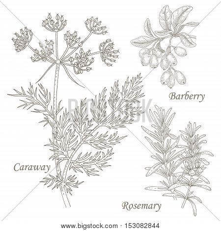 Caraway; barberry; rosemary. Set of illustration of medical herbs. Isolated image on white background. Vector.