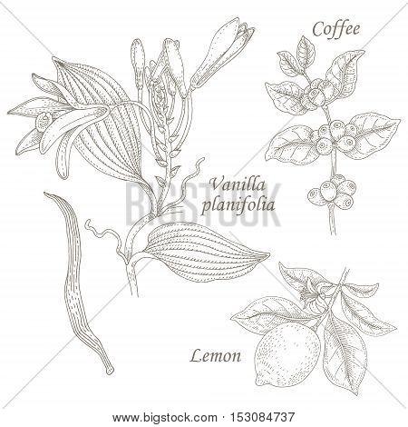 Vanilla planifolia coffee lemon. Set of illustration plant with fruits and flowers. Isolated image on white background. Vector.